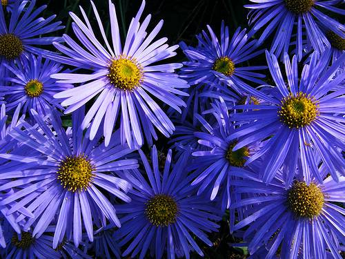 Profile of the Aster Flower – The Birth Flower for September