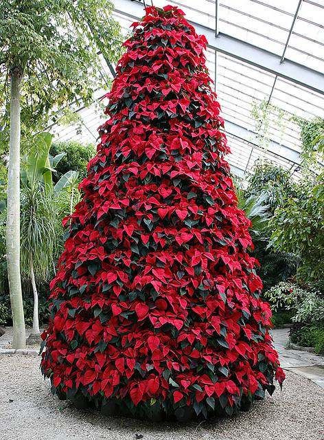 Tips for Decorating With Poinsettias