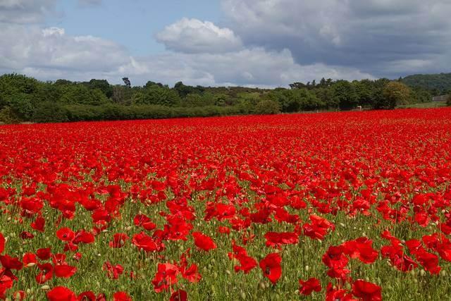 scarlett poppies
