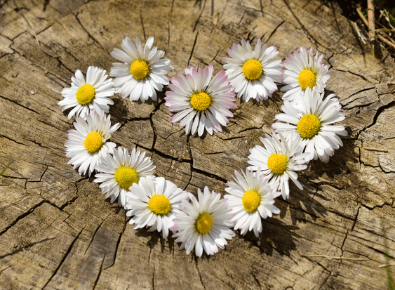April's Birthflower: The Darling Daisy