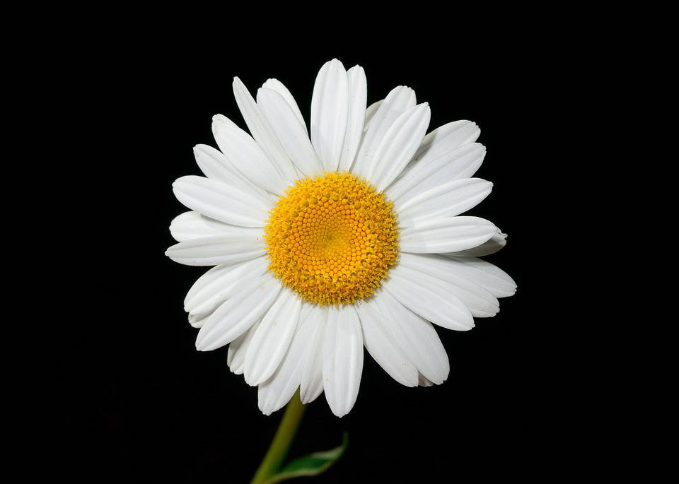 Daisies: The Perfect Flowers for Any Occasion