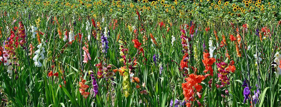 August's Birthflower: The Glamorous Gladiolus
