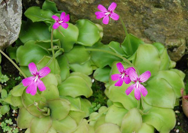 Carnivorous Plants You Can Grow At Home