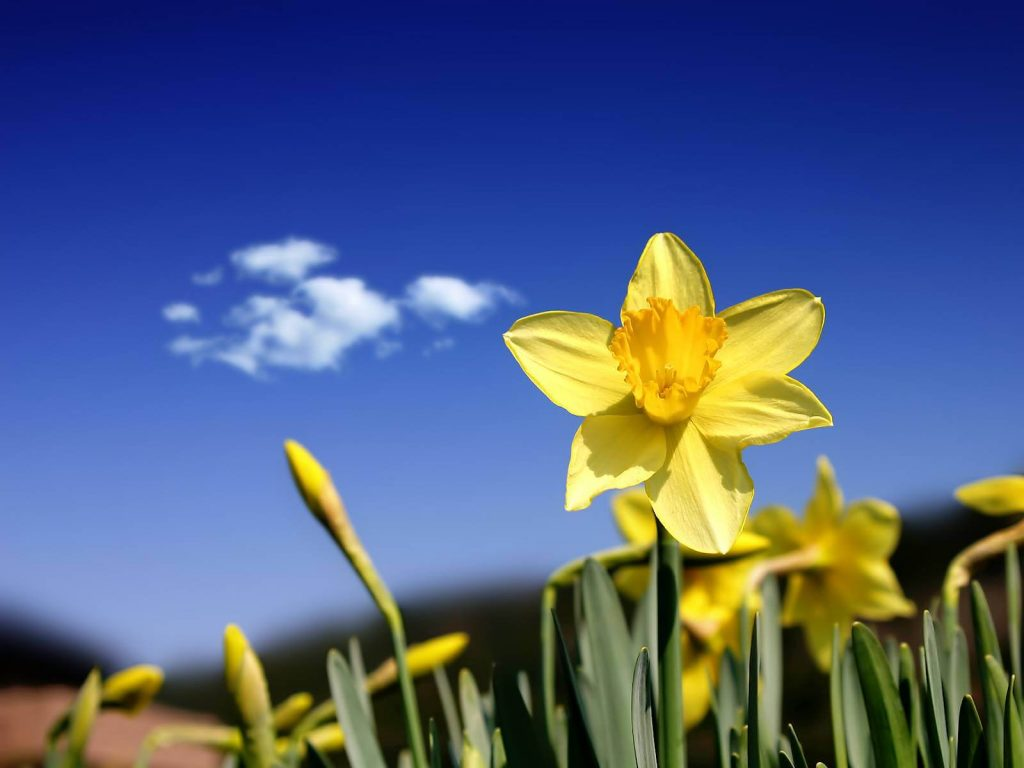 Daffodil and Clear sky