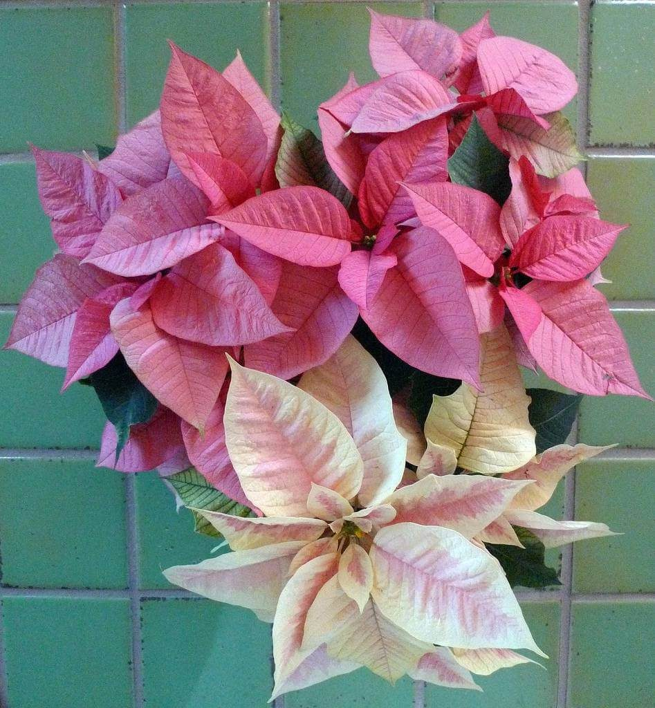 Colored Poinsettias