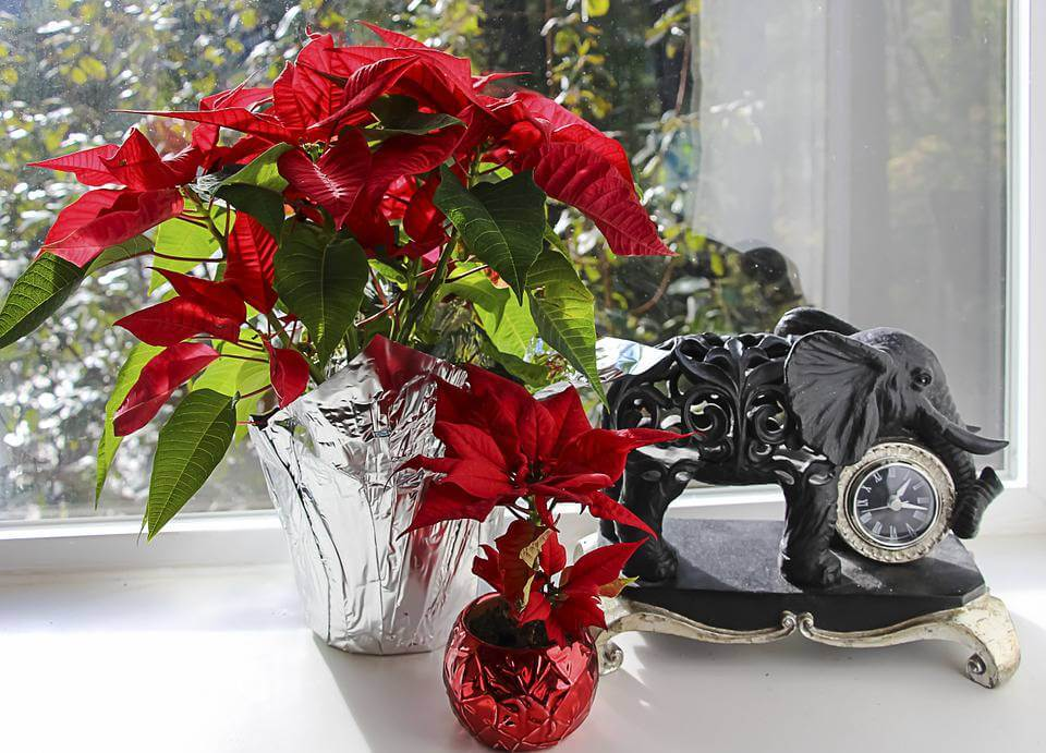 December's Birthflower: The Festive Poinsettia