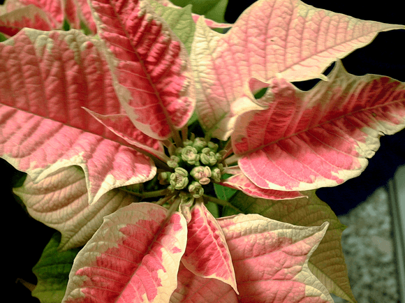 December's Birthflower: The Popular Poinsettia
