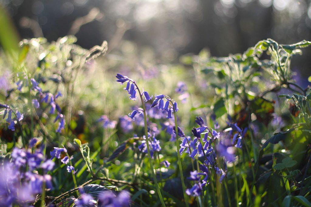 Lavender Bluebell