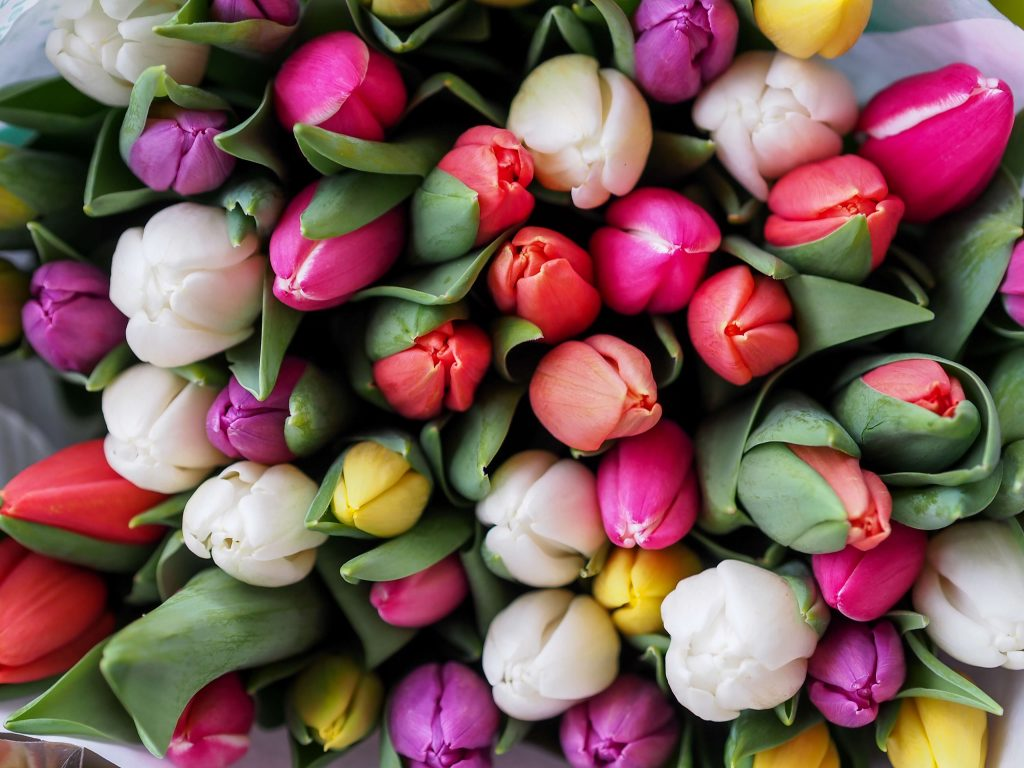 Tulips of colors