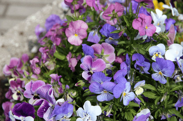 February's Birthflower: The Vivacious Violet