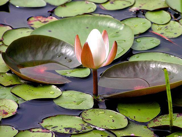 Flower surrounded by Lillypads
