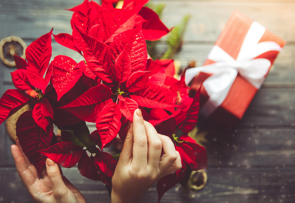 Holiday in Bloom: Christmas Flowers and Plants Around the World