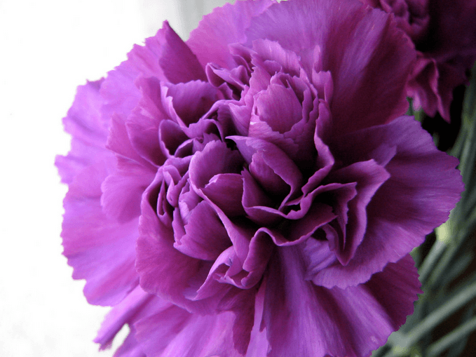 January's Birthflower: The Colorful Carnation