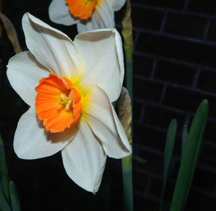 White and orange daffodil