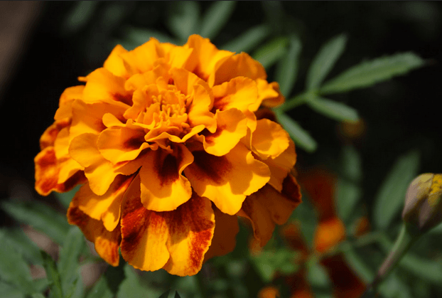 Marigolds: The First Sign Of Fall And October's Birthflower