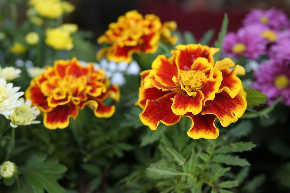 Red marigolds trimmed in yellow