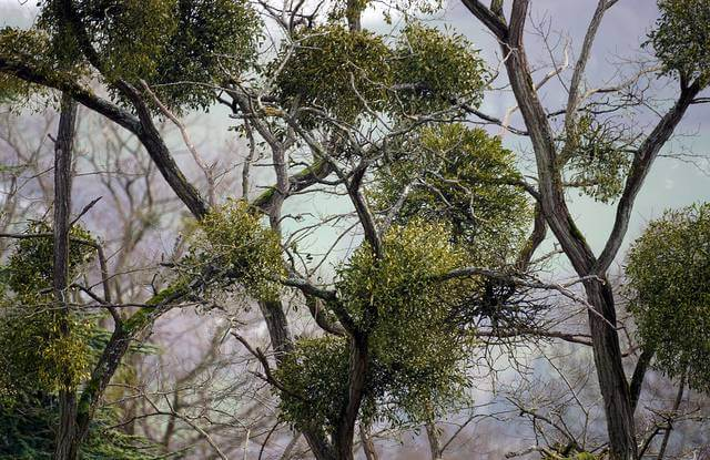 Mistletoe Tree