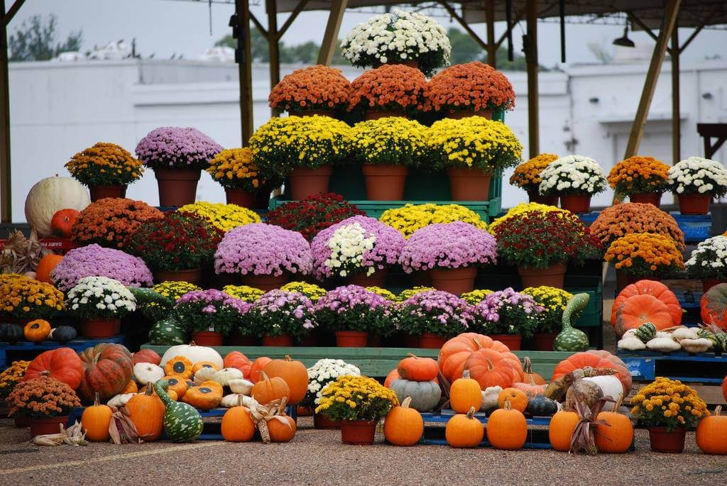 November's Birthflower: The Colorful Chrysanthemum