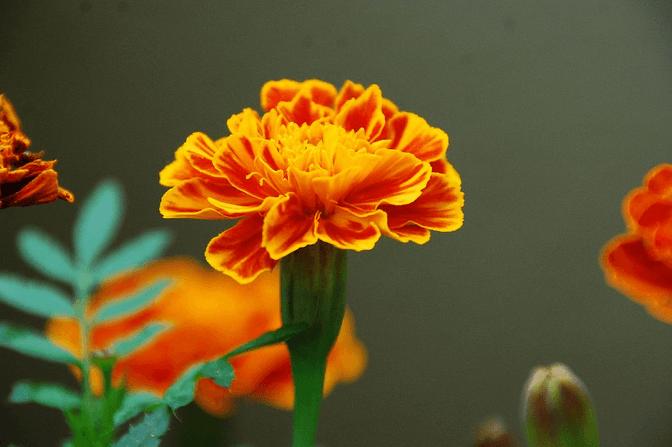 October's Birthflower: The Marvelous Marigold