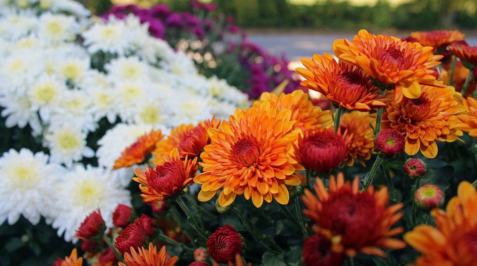 Our Favorite Fall Flower, The Chrysanthemum