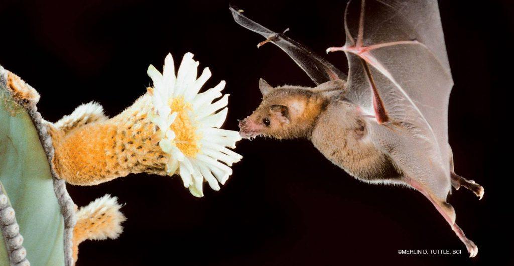 Pollinators - Mammals