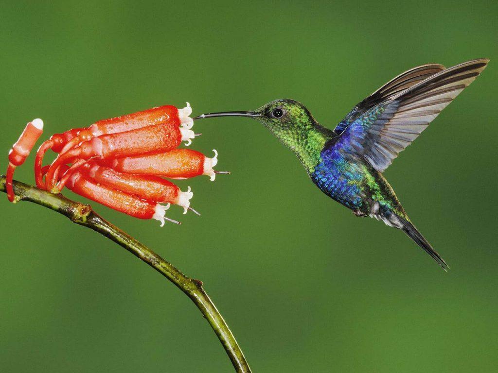 Pollinators- Birds
