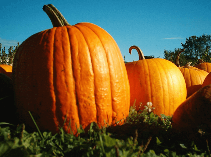 Pumpkins Galore: History, Facts, Fun And More!