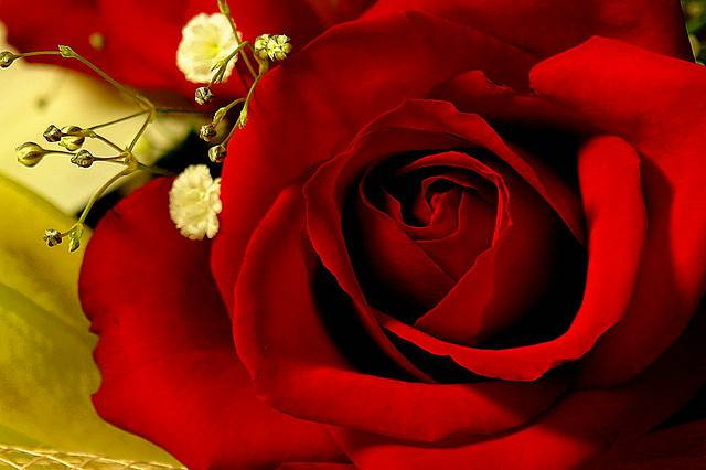 Red Romantic Rose