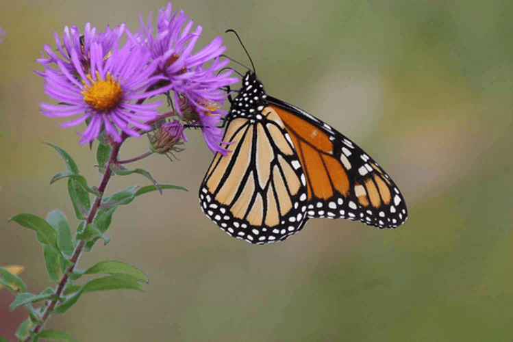 Aster & butterfly
