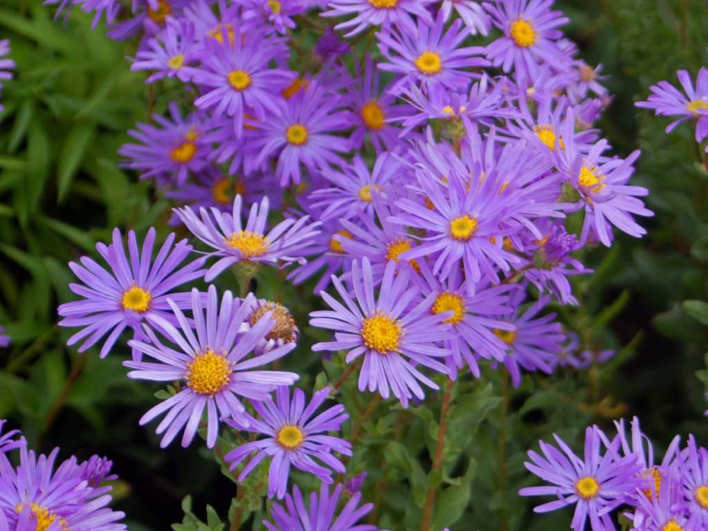 September's Birthflower: The Adorable Aster