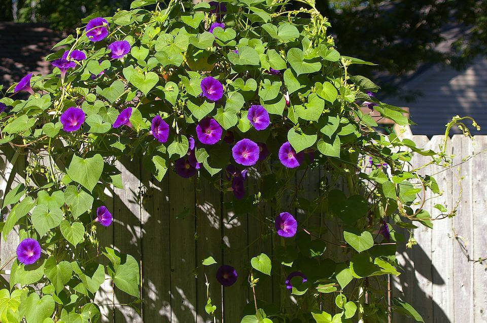 September's Birthflower: The Magnificent Morning Glory