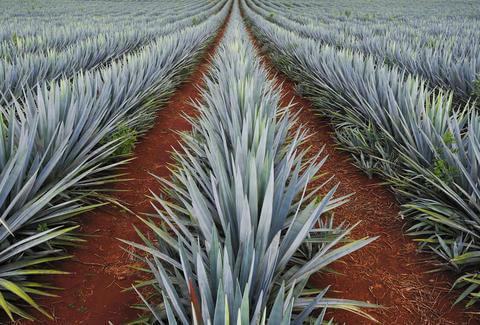 What Plant Does Tequila Come From?