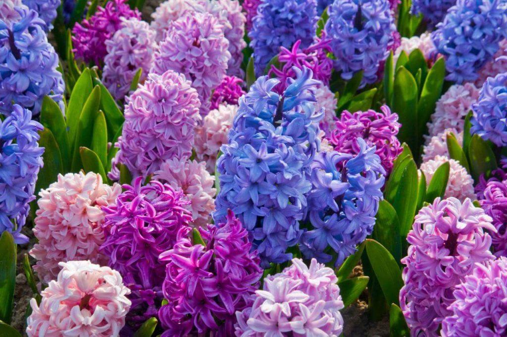 Purchase Hyacinths
