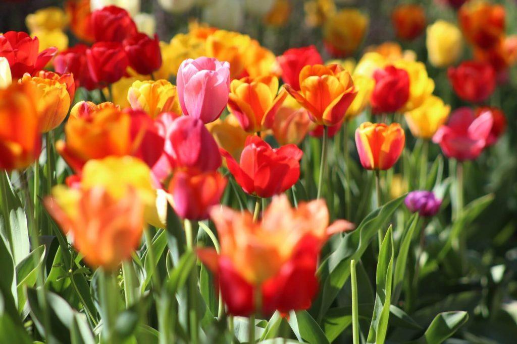 Buy Tulips