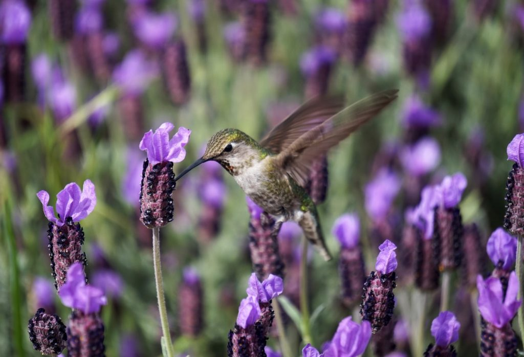 Hummingbird on Lavender Flower