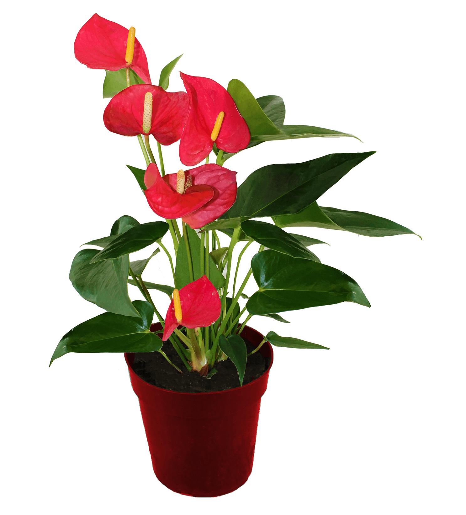 Anthurium Plant - Farm Fresh