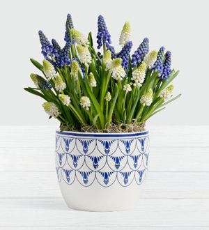 Blue and White Magic Muscari Bulb Garden