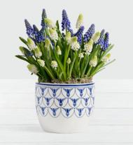 Blue and White Magic Muscari Bulb Garden