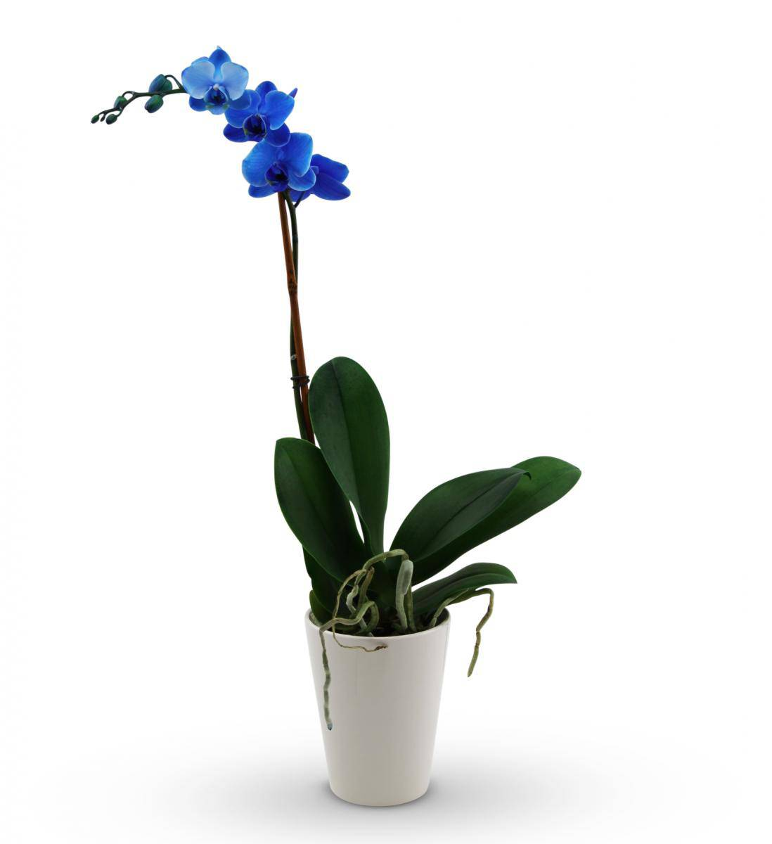 Blue Orchid Russian Flowers Related Keywords Blue Orchid Russian Flowers Lo