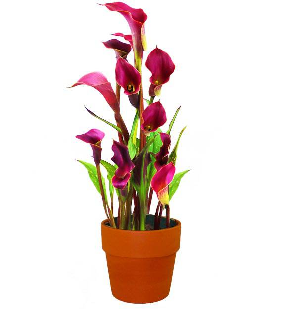 Calla Lily Planter - Farm Fresh