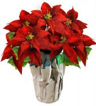 Holiday Poinsettia Plant - Farm Fresh