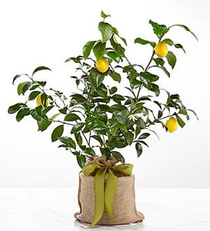 Citrus Sightings Lemon Tree