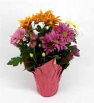 Colorful Mum Plant