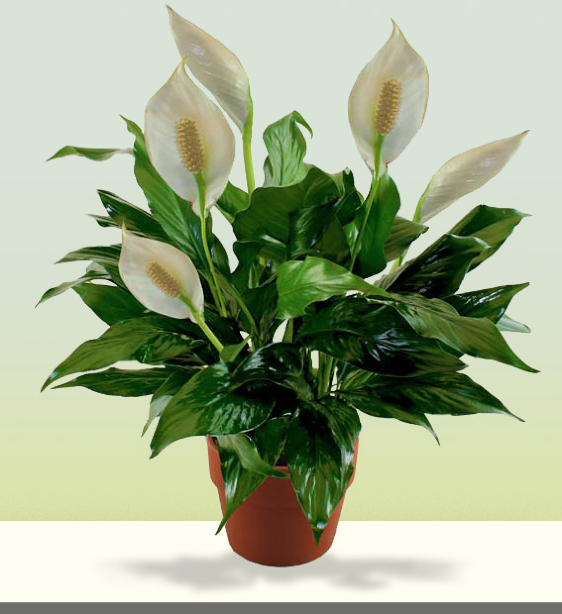 Comfort Peace Lily