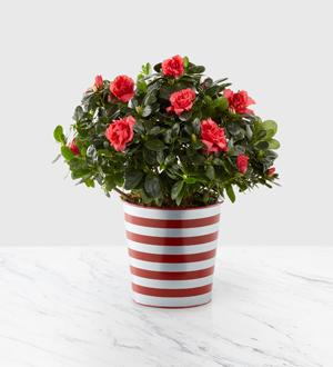 Crimson Cheer Plant