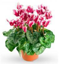 Pink Cyclamen Plant