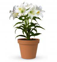Easter Lily Gift Plant