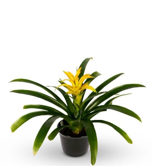 Exotic Yellow Bromeliad Plant
