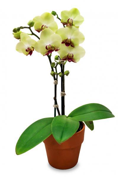 Orchid Plant - Single Stem