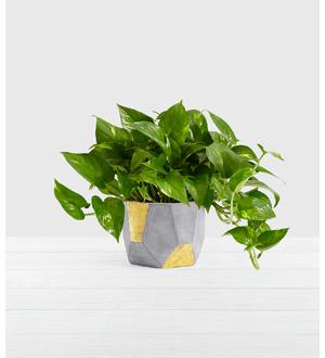 Golden Pothos – Tabletop Plant